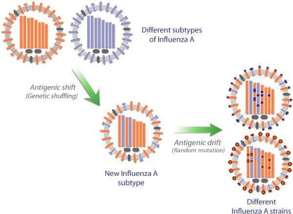 influenza a virus